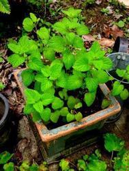 レモンバウム鉢植え.jpg